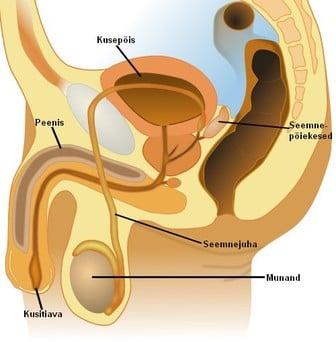 Suu suurus ja peenise suurus Kuidas suurendada vere tousulaine liikmele